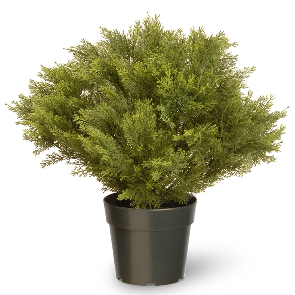 24-inch Globe Juniper with Green Pot