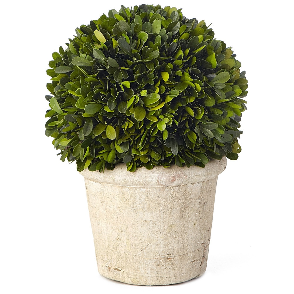 Sage & Co 11.5-inch Medium Round Boxwood Preserved (Packe...