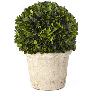 11.5-inch Medium Round Boxwood Preserved (Packed 1 Each)