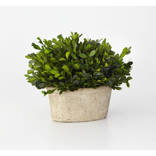 8.5-inch Small Oval Boxwood Preserved (Packed 1 Each)