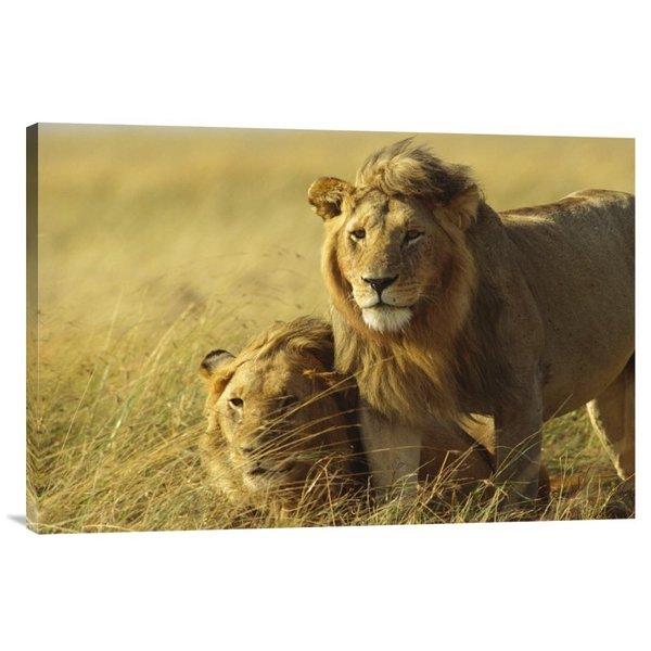 Global Gallery Gerry Ellis 'African Lion, juvenile males, Masai Mara Reserve, Kenya' Stretched Canvas - Multi