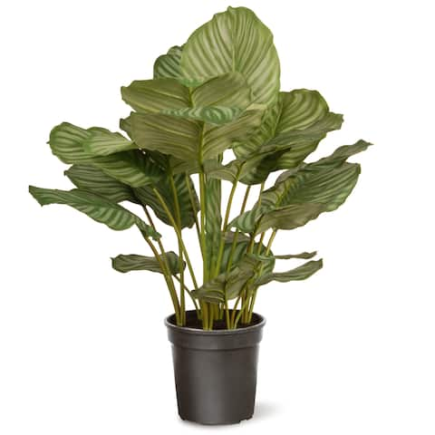 Calathea in Black Pot Green 30-inch Plant