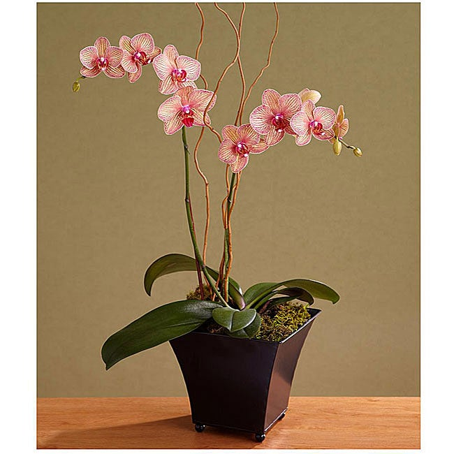 Potted Double-stemmed Kaleidoscope Orchid