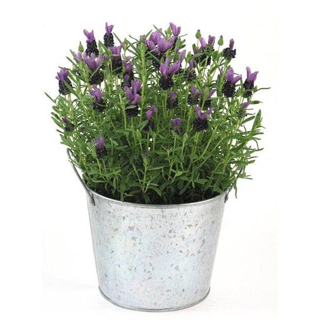 Scented Potted Lavender Plant