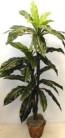 "Bird's Nest Palm Tree (5'5"")"