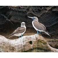 Stewart Parr 'Bird in Galapagos Islands - Blue Footed Booby' Photo Art