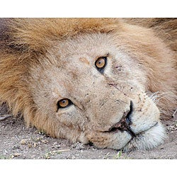 Stewart Parr 'Lion in the Kenya - Serengeti Plains - Resting' Photo Art