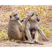 Stewart Parr 'Baboon Family in Kenya' Photograph