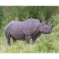 Stewart Parr 'Black Rhino in Kenya' Photograph