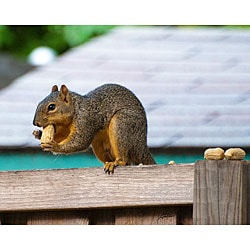 Stewart Parr 'Squirrel on a Fence' Unframed Print