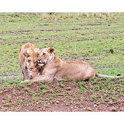 Stewart Parr 'Lioness Sisters in Kenya' Photo Art - Thumbnail 0