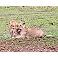Stewart Parr 'Lioness Sisters in Kenya' Photo Art