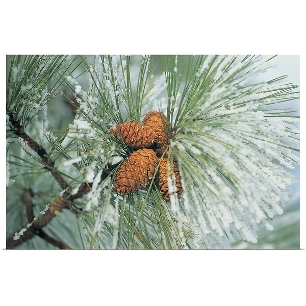 """""""Snow covered pine cones on branch"""" Poster Print"""