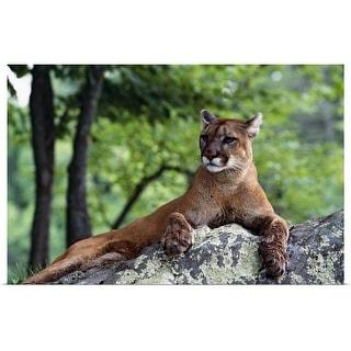 """Female cougar lying on rock, Minnesota"" Poster Print"