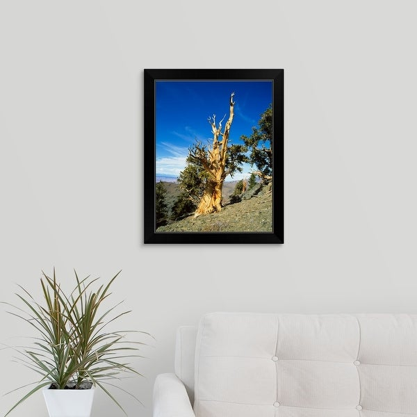 """Bristle Cone Pine in side of hill, California"" Black Framed Print"
