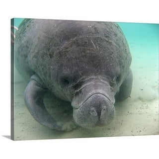 Premium Thick-Wrap Canvas entitled Manatees at Crystal River, Florida