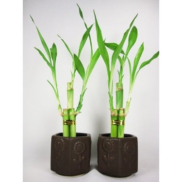 9GreenBox - 2 Set Lucky 'Bamboo' w/ Ceramic Vase