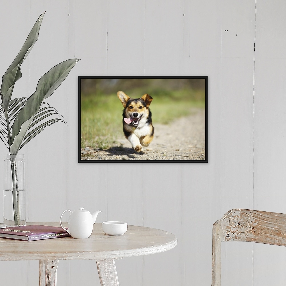 Pembroke Welsh Corgi Dog Running Outdoors Black Float Frame Canvas Art Overstock 25514656