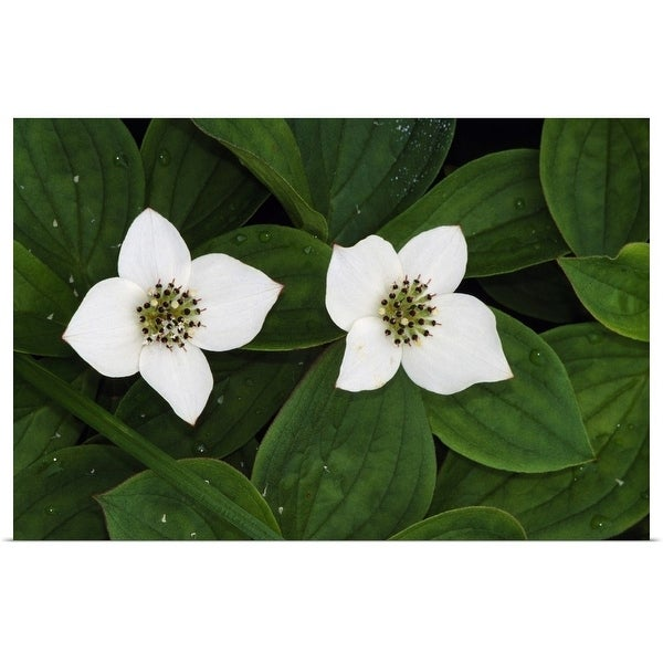 """""""Bunchberry flowers (Cornus canadensis) in bloom, close up, Vermont"""" Poster Print"""