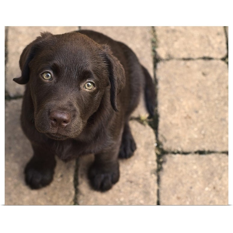 LABRADOR RETRIEVER GLOSSY POSTER PICTURE PHOTO BANNER puppies chocolate 4808