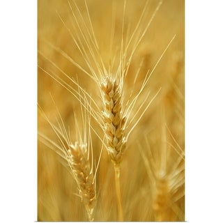 """Close-up of wheat"" Poster Print"