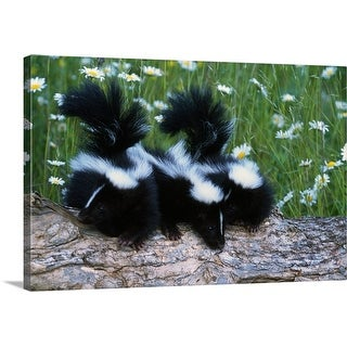 """""""Three young skunks on log in wildflower meadow, Minnesota"""" Canvas Wall Art"""