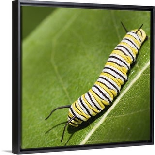 """""""Monarch butterfly caterpillar on a common milkweed leaf."""" Black Float Frame Canvas Art"""