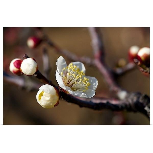 """""""White plum blossoms in sunlight."""" Poster Print"""