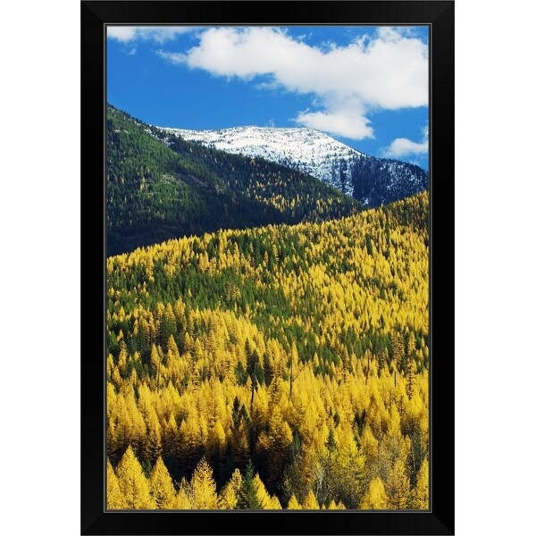 """""""Autumn color larch trees in pine tree forest, Flathead River Valley, Montana"""" Black Framed Print"""