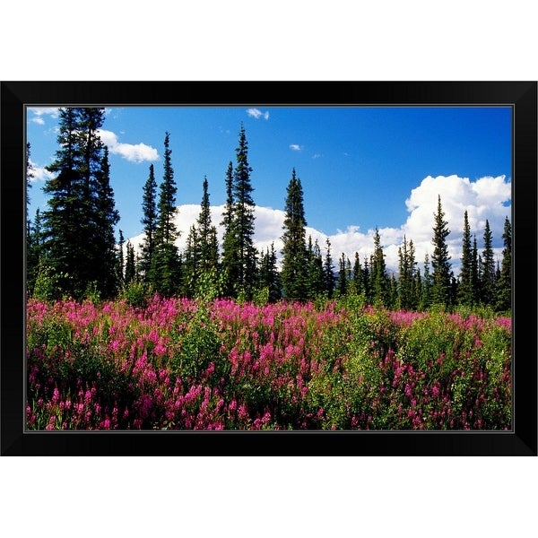 """Pink fireweed flowers blooming in forest clearing, Alaska"" Black Framed Print"