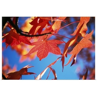 """""""Autumn Color Maple Tree Leaves"""" Poster Print"""