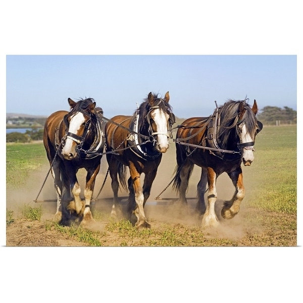 """""""Clydesdale horse team working on Churchill Island, Victoria, Australia"""" Poster Print"""