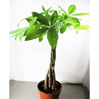 9GreenBox - 5 Money Tree Plants Braided into 1 Tree - Mini