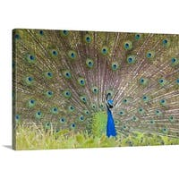 Premium Thick-Wrap Canvas entitled Peacock fanning out its tail
