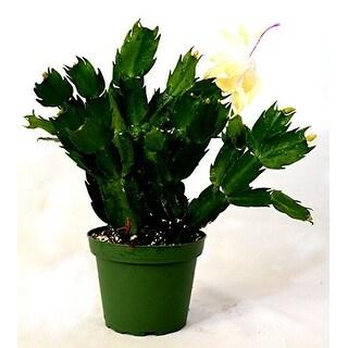 "9GreenBox - Rare Yellow Christmas Cactus Plant - Zygocactus - 4"" Pot"