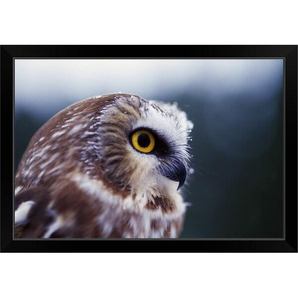 """Saw-whet owl (Aegolius acadicus), portrait profile."" Black Framed Print"