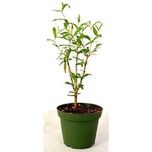 9GreenBox - Wonderful Pomegranate Tree very sweet