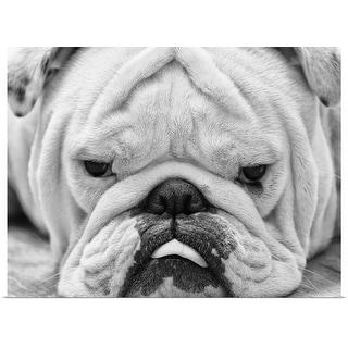 """English Bulldog"" Poster Print"