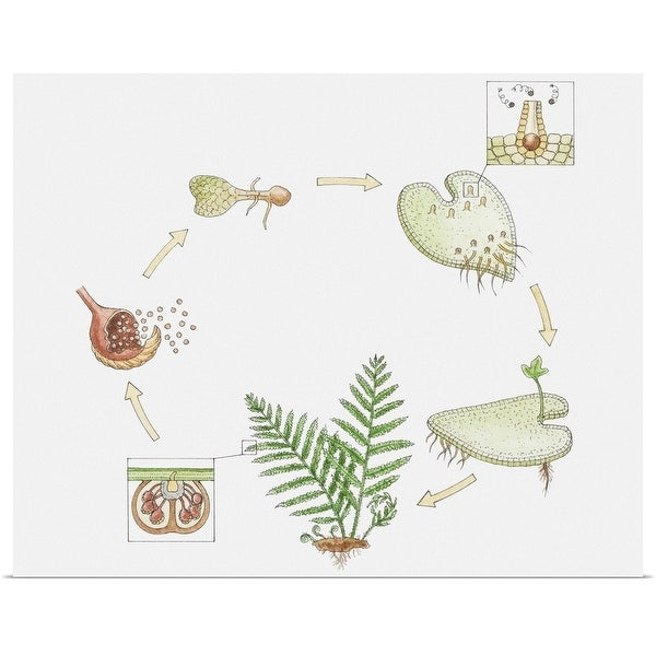 """""""Illustration of the life cycle of a fern"""" Poster Print"""