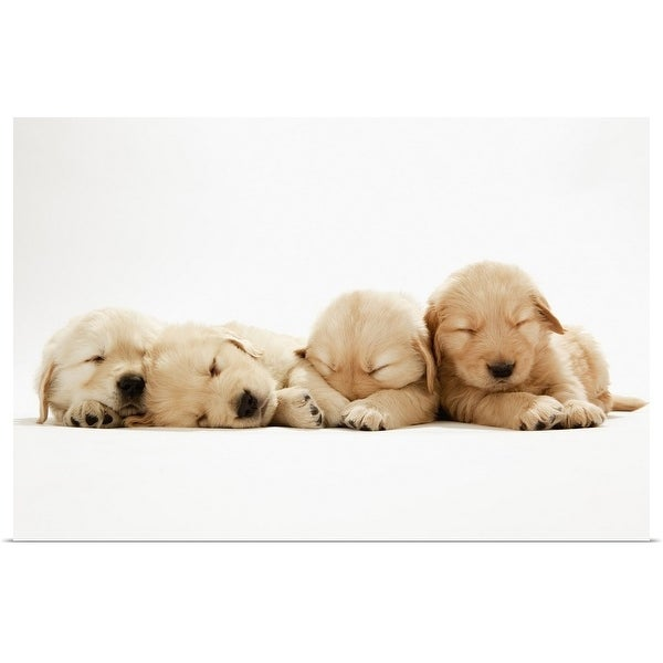 PUPPYS BABY GOLDEN RETRIEVER DOGS PETS Poster Picture Canvas art Prints