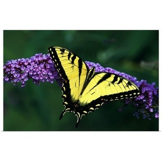 """""""Tiger Swallowtail Butterfly On Blooming Purple Flower"""" Poster Print"""