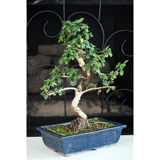 "9GreenBox - 10"" Fukien Tea Indoor Bonsai Tree with Ceramic Vase"