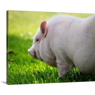 Premium Thick-Wrap Canvas entitled Young Vietnamese Potbellied pig playing in grass on sunny day. - Multi-color
