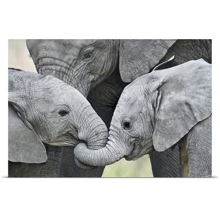Poster Print entitled African elephant calves (Loxodonta africana) holding trunks, Tanzania (5 options available)