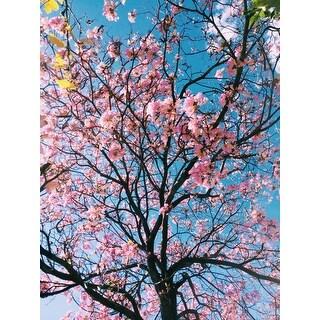 Cherry Blossom Tree Photograph Wall Art Canvas