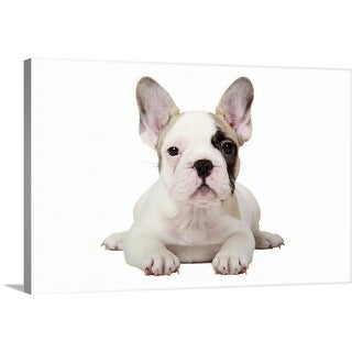 """""""Fawn Pied French Bulldog puppy on white background."""" Canvas Wall Art"""