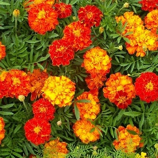Merry Marigold Seeded Flower Mat with Soil & Plant Food