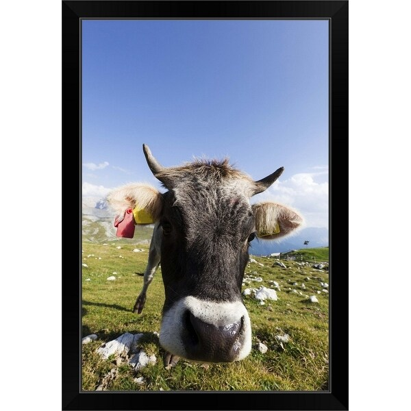 """""""Cow grazing the grass in a pasture located in the Italian Alps"""" Black Framed Print"""