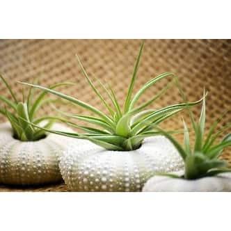 Shop 9greenbox Air Plant Tillandsia Bromeliads Gift Set With