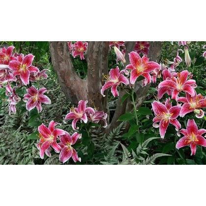 Giant Stargazer Oriental Lily Flower Bulbs - Pack of 12